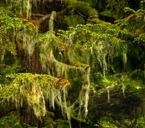 Great Bear Rainforest Shoreside Tree